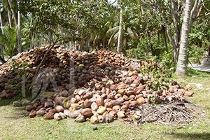 Raccolta del cocco alle Seychelles