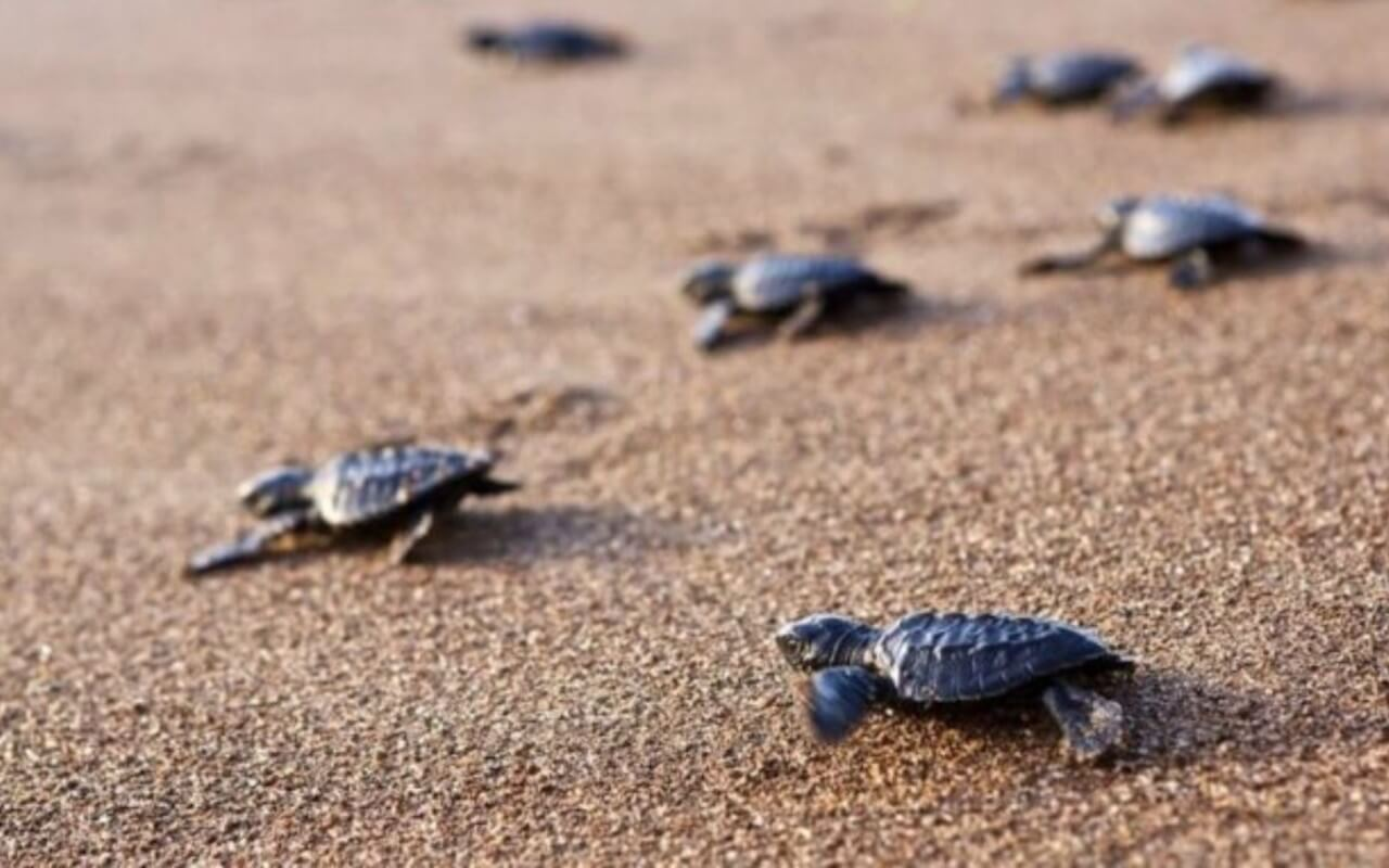 Olive Ridley Turtles Goa
