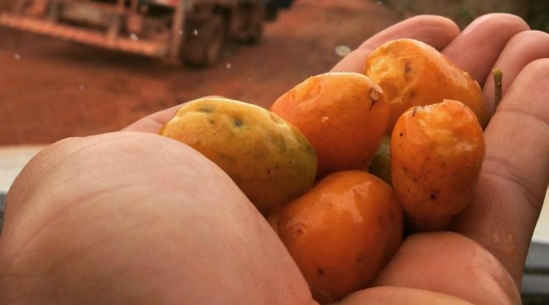 fruta típica do maranhão siriguela