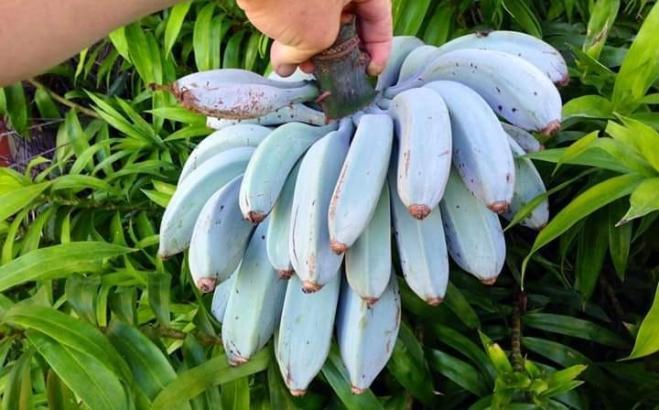 Banane blue java o Ice cream Banana, cosa sono?