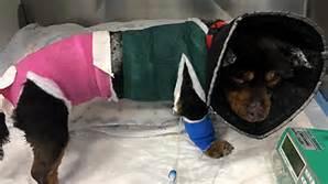 Da tutta Italia la gara per adottare Fuego, il cane di Sassari torturato e bruciato ⬇Video⬇