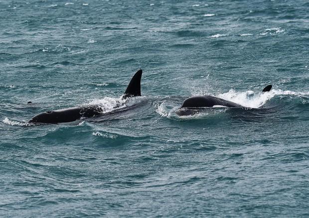 Tre orche nello Stretto Messina, forse sono quelle di Genova