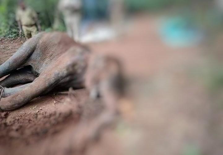 Elefante ucciso con un ananas pieno di petardi. India sotto choc