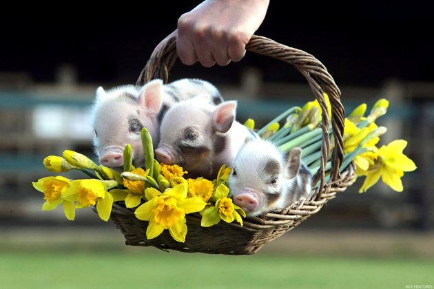 Cute Piglets Wallpaper Teaching Your Teacup Pig Not To Bite As Well As Other