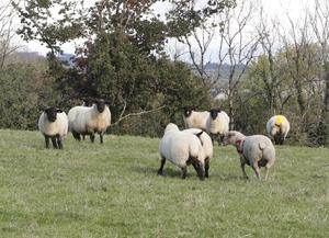 Suffolk ewes and Charollais rams on Chris's farm