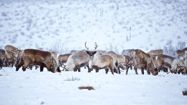 A herd of caribous in the snow. PA Photo/Holger Bergold.