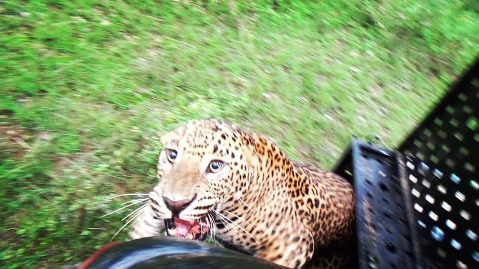 Sri Lanka Wildlife officials rescue leopard trapped in snare