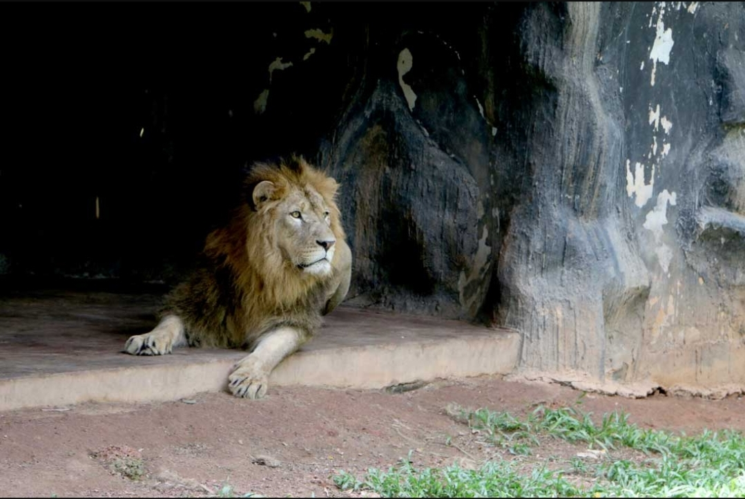 Lion at Dehiwala Zoo contracts Covid-19