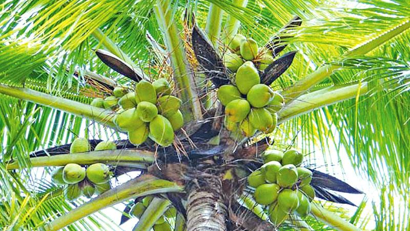 Another coconut thief bailed