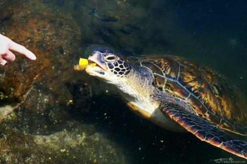 Feeding turtles Samoa