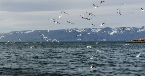 independent people iceland scenery harbour birds ocean mountains