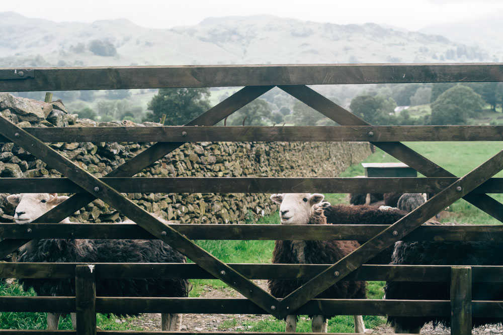 Sheep, Lake District