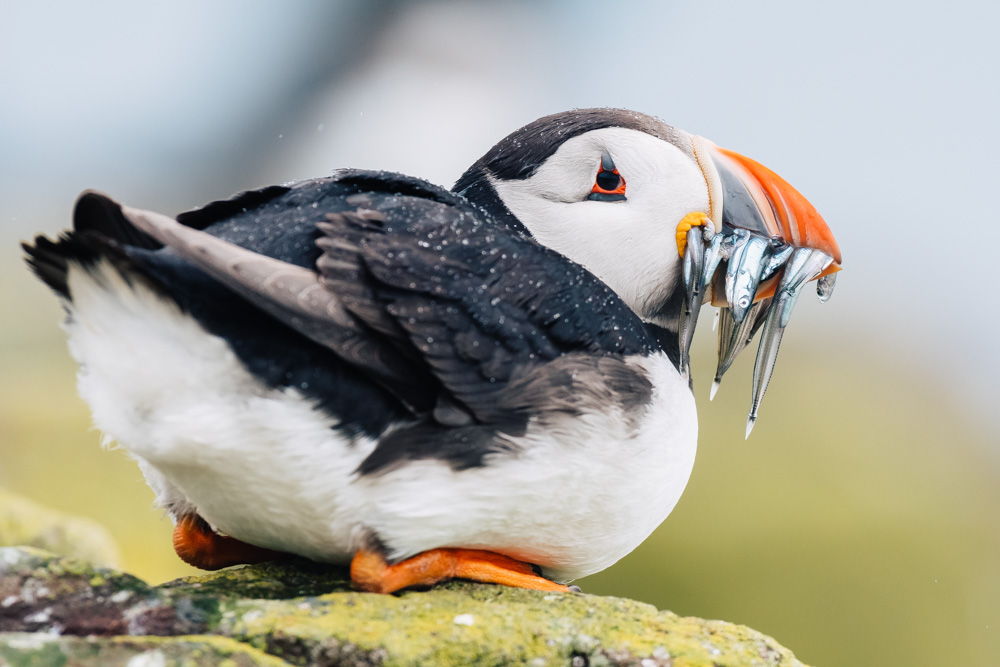england northumberland islands farne cliff puffin
