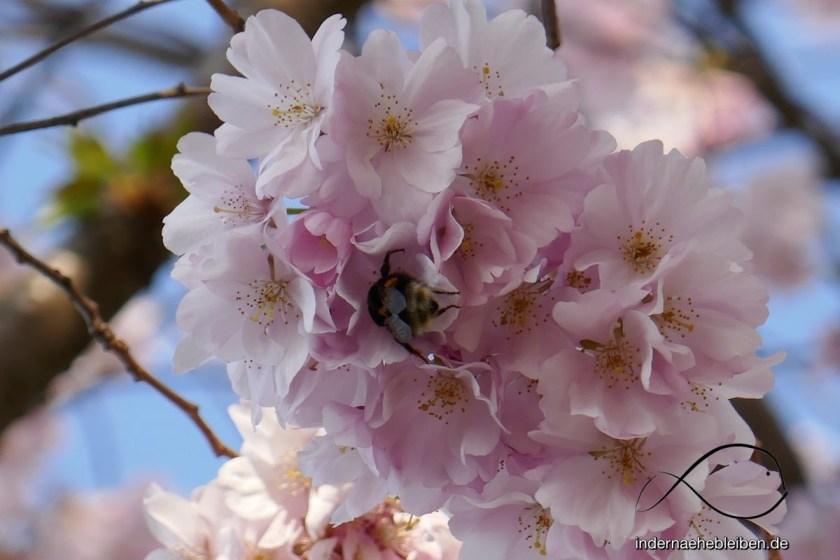 Kirschbluete mit Hummel