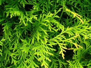 1280px-Podlaskie_-_Suprasl_-_Kopna_Gora_-_Arboretum_-_Thuja_occidentalis_'Ellwangeriana_Aurea'_-_branch