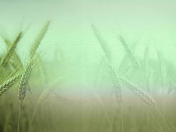 Wheat 04 PowerPoint Template