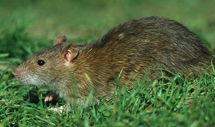 Hantavirus in India: Know Symptoms, Signs, Incubation Period And ...