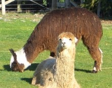 How Alpaca came to Australia?
