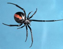 Most dangerous Australian Spiders and How to get rid of them from your home?