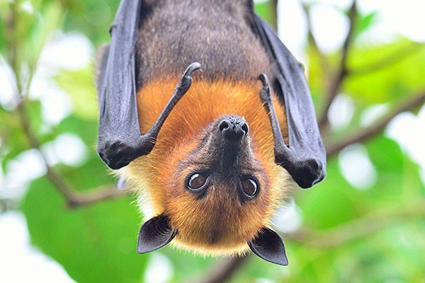 Vaccine  from Australia to be tested on humans in India against Nipah Virus