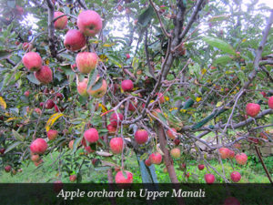 Apple orchard in Upper Manali