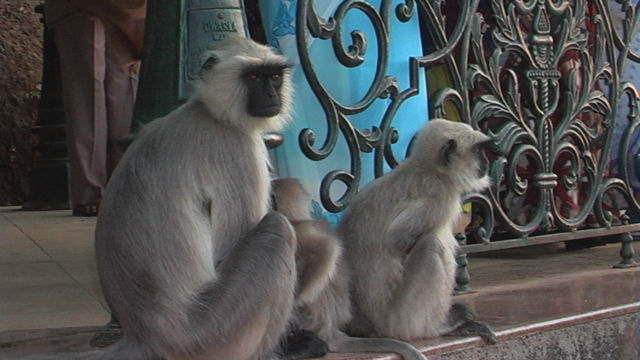 India Travel Pictures Black Faced Indian Monkey