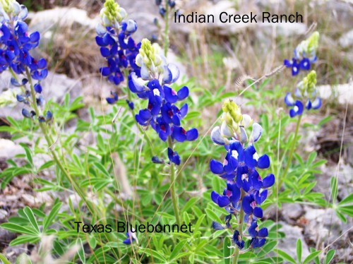Texas Bluebonnets.  Photo by Jo Roberts.