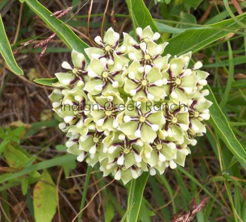 Antelope Horn Milkweed. Picture by Jo Roberts.