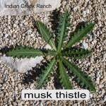musk thistle 01 - carduus nutans