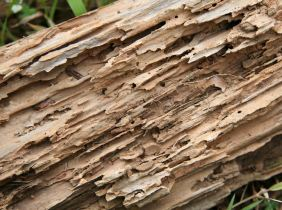 Termites in Indiana: Galleries