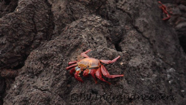 Sally Lighfoot Crab!