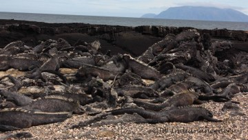Fernandina is known as the most pristine of the archipelago as no foreign species has ever invaded it. Marine Iguanas literally everywhere.....mind your step!!!