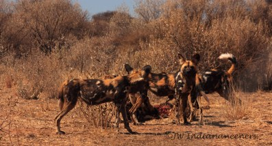 The Wild Dog Pack that call Naankuse home....