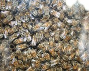 Honey Bee Lesson Plans for Use with Indiana Field Trips