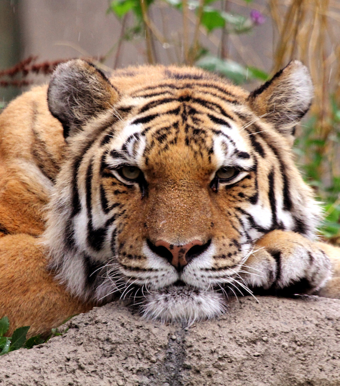discover the amur tiger
