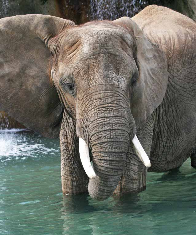 discover the african elephant