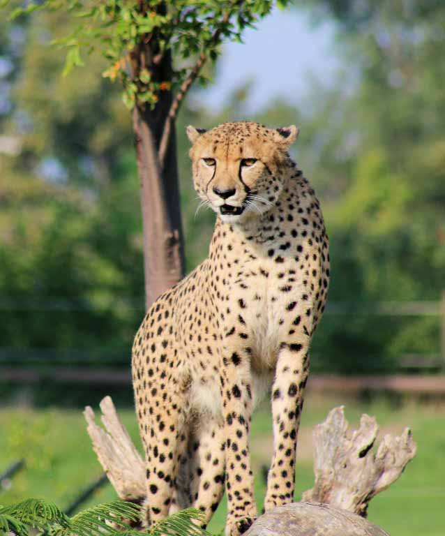 discover the cheetah our