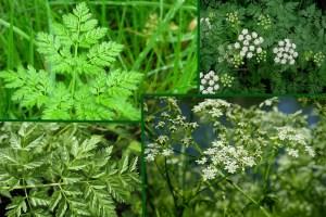 invasive plant species: poison hemlock