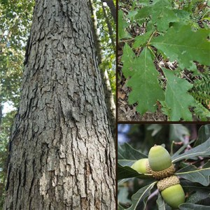 White Oak How To Identify A White Oak Tree In Indiana