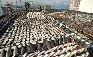 Shark fins & meat_ neurotoxins_Alzheimer's Disease_indian bureaucracy
