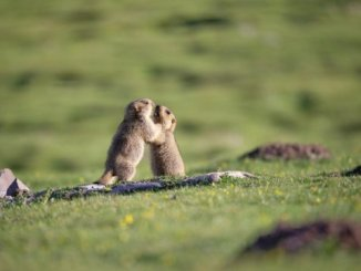 Himalayan marmot genome offers clues