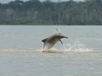 Mysterious river dolphin helps crack the code of marine mammal communication