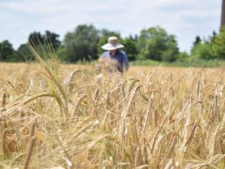 Heat, salt, drought,This barley can withstand the challenges of climate change