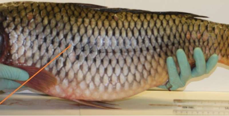 Fish armor both tough and flexible