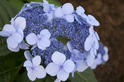 Twist and Shout Hydrangea Omaha
