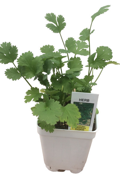 Cilantro Coriander plants for sale