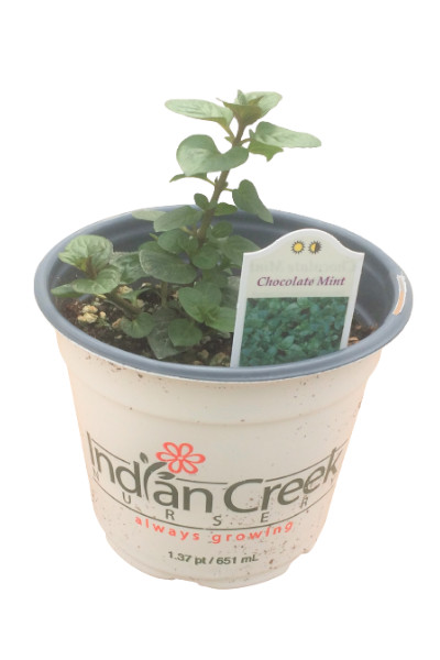 Chocolate Mint plants for sale