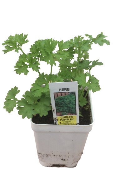 Curled Parsley plants for sale