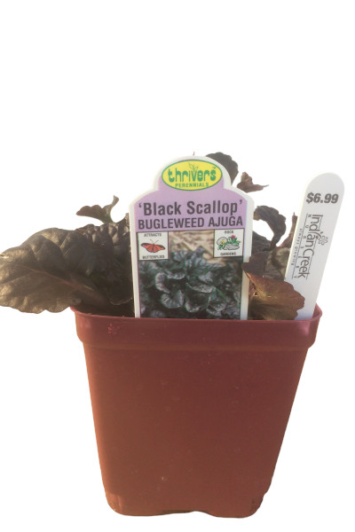 Black Scallop Ajuga ground cover plants in Omaha