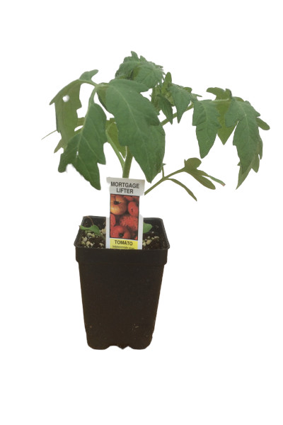 Mortgage Lifter Tomato plants in Omaha